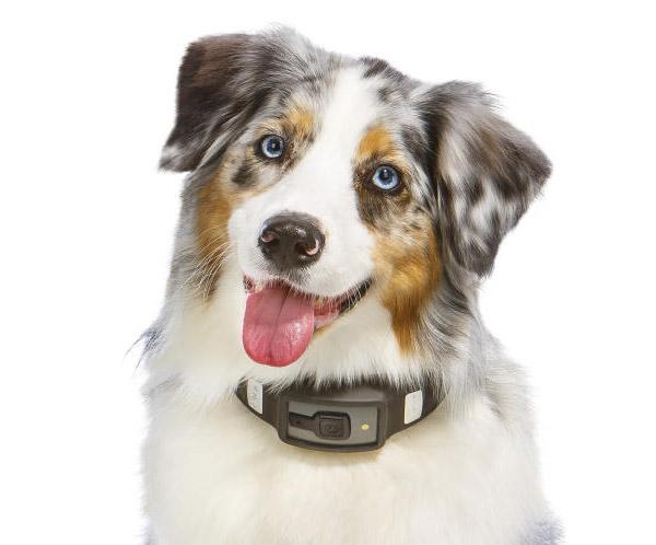 Collier connecté pour chien