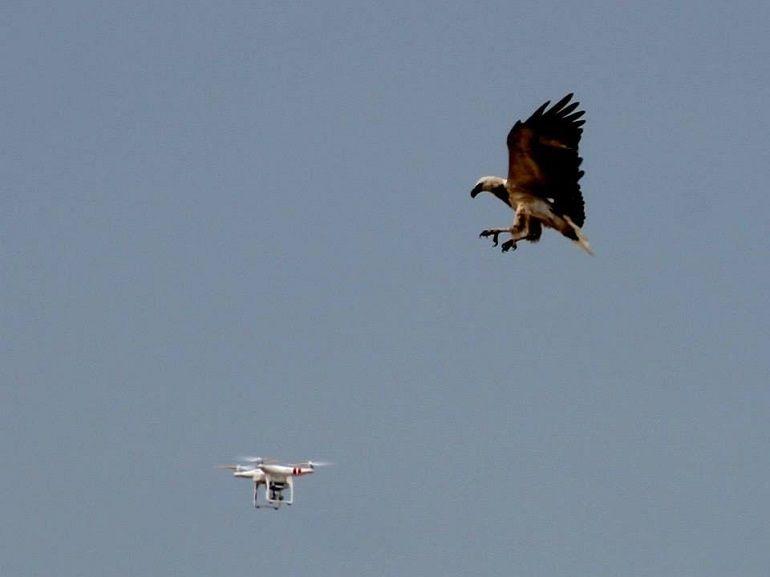 Des rapaces pour neutraliser des drones
