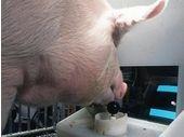 Ces cochons ont appris à jouer à un jeu vidéo. Et ils sont bons !