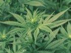 USA : Microsoft roule pour le commerce du cannabis légal