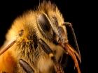 Comment l'IoT et les satellites pourraient sauver les abeilles