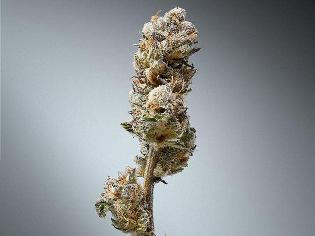 Une société propose un système d�authentification du cannabis