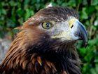L'aigle est le meilleur ennemi du drone jure l'armée française