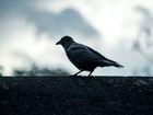 Drones contre corbeaux: la tenace inimitié des volatiles au progrès technique