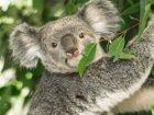 En Australie, des drones identifient les koalas rescapés des incendies