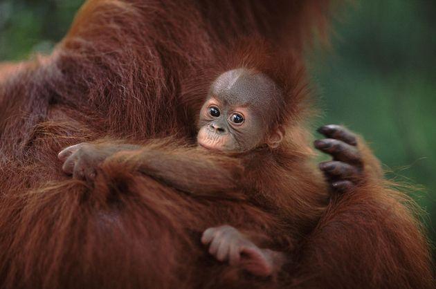En Indonésie, WWF utilise le machine learning pour sauver les orangs-outans
